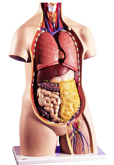 Расположение внутренних органов человека: макет