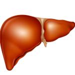 Расположение внутренних органов человека - печень
