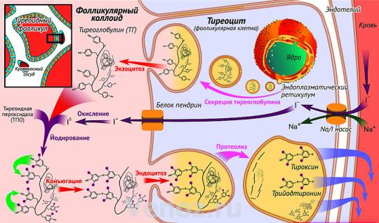 Анализы на гормоны щитовидной железы: биосинтез тироидных гормонов