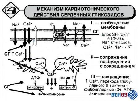 Сердечные гликозиды: механизм действия