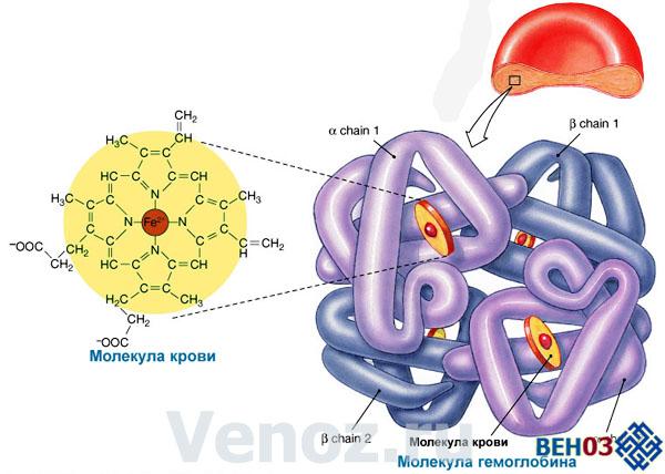 Гемоглобин способен на легкое образование соединений с молекулами кислорода и углекислого газа, и на такое же легкое «расставание» с ними.